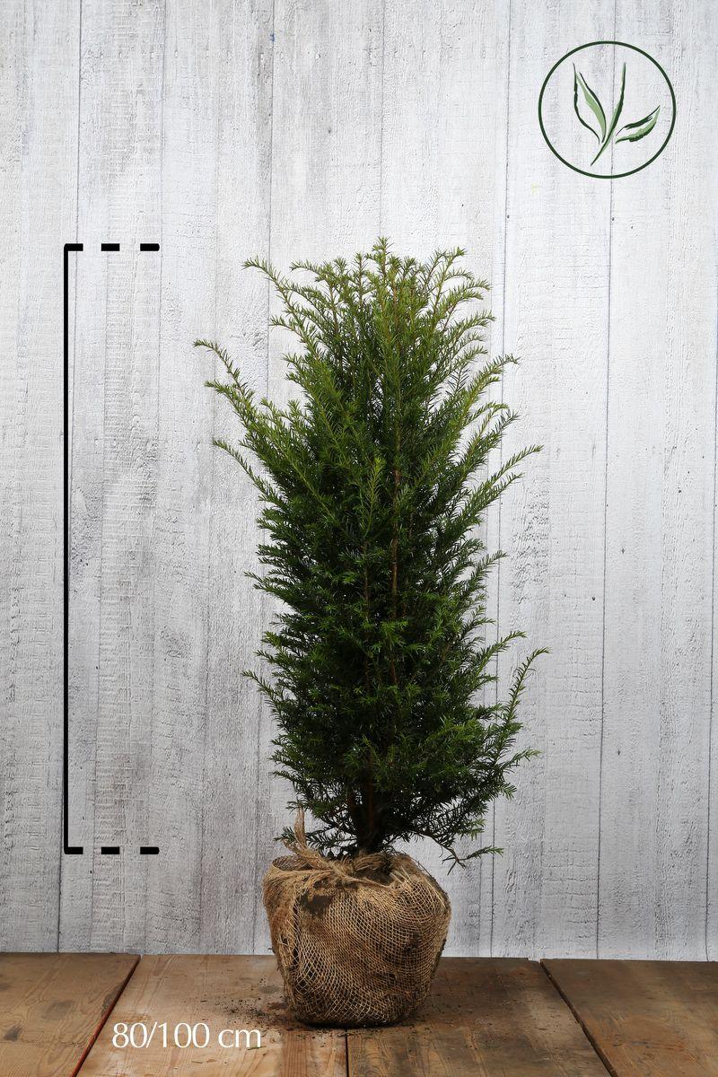 Gemeine Eibe Wurzelballen 80-100 cm Extra Qualtität