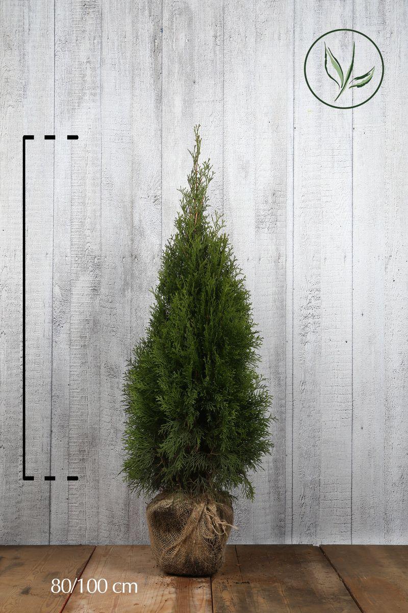 Lebensbaum 'Smaragd'  Wurzelballen 80-100 cm Extra Qualtität