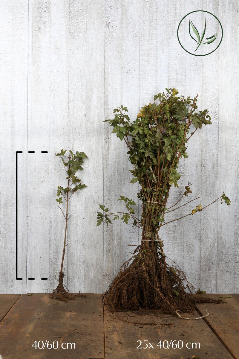Feldahorn Wurzelware 40-60 cm