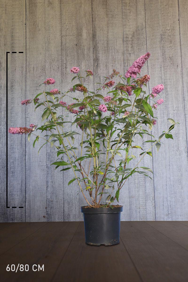 Schmetterlingsstrauch 'Pink Delight' Topf 60-80 cm Extra Qualtität