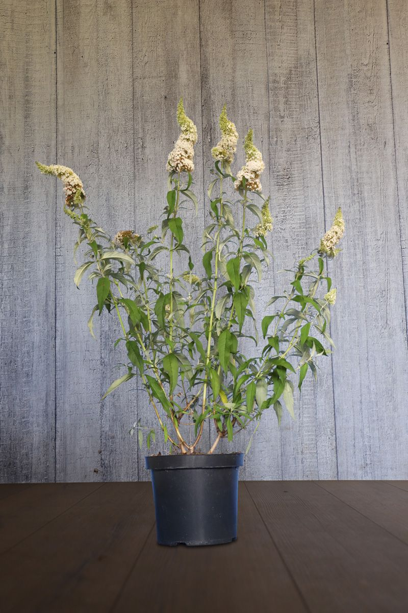 Schmetterlingsstrauch 'White Profusion'  Topf 60-80 cm Extra Qualtität