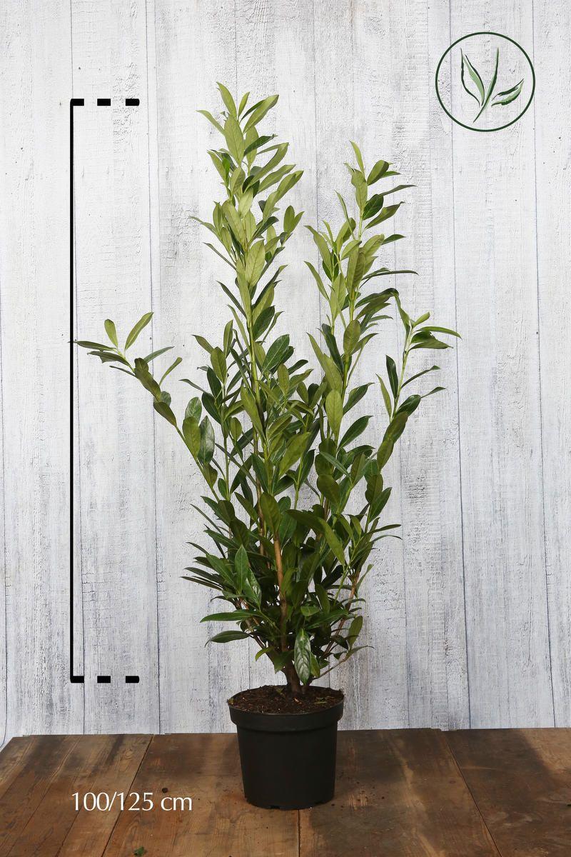 Kirschlorbeer 'Caucasica'  Topf 100-125 cm Extra Qualtität
