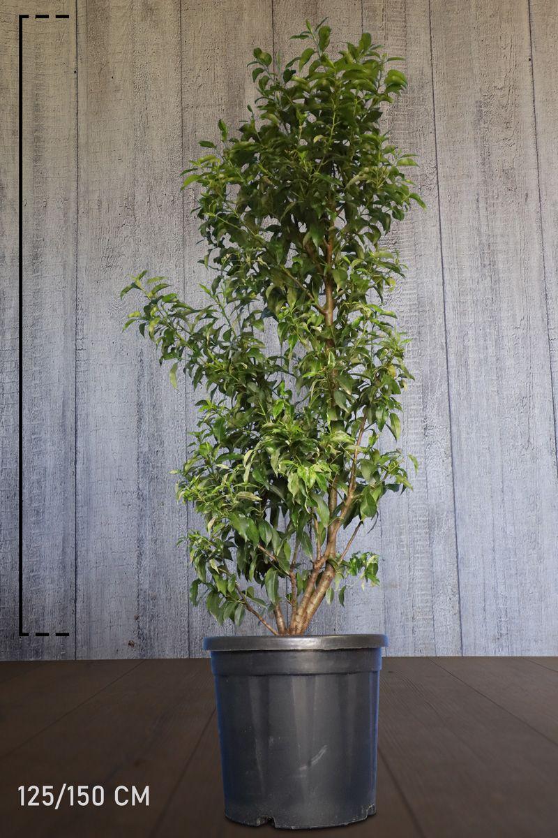 Portugiesischer Kirschlorbeer  Topf 125-150 cm Extra Qualtität