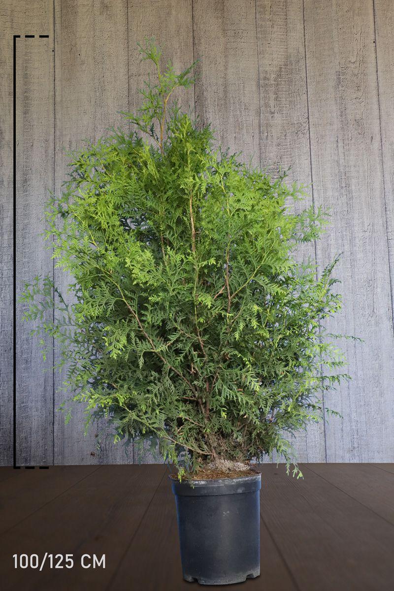 Lebensbaum 'Brabant' Topf 100-125 cm Extra Qualtität