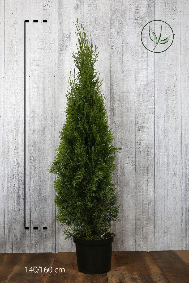 Lebensbaum 'Smaragd'  Topf 140-160 cm Extra Qualtität