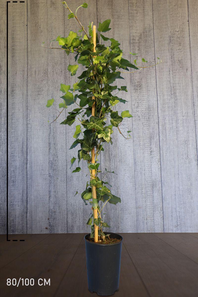 Irischer Efeu  Topf 80-100 cm