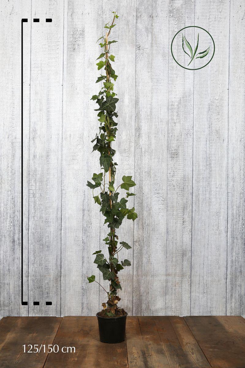 Irischer Efeu  Topf 125-150 cm