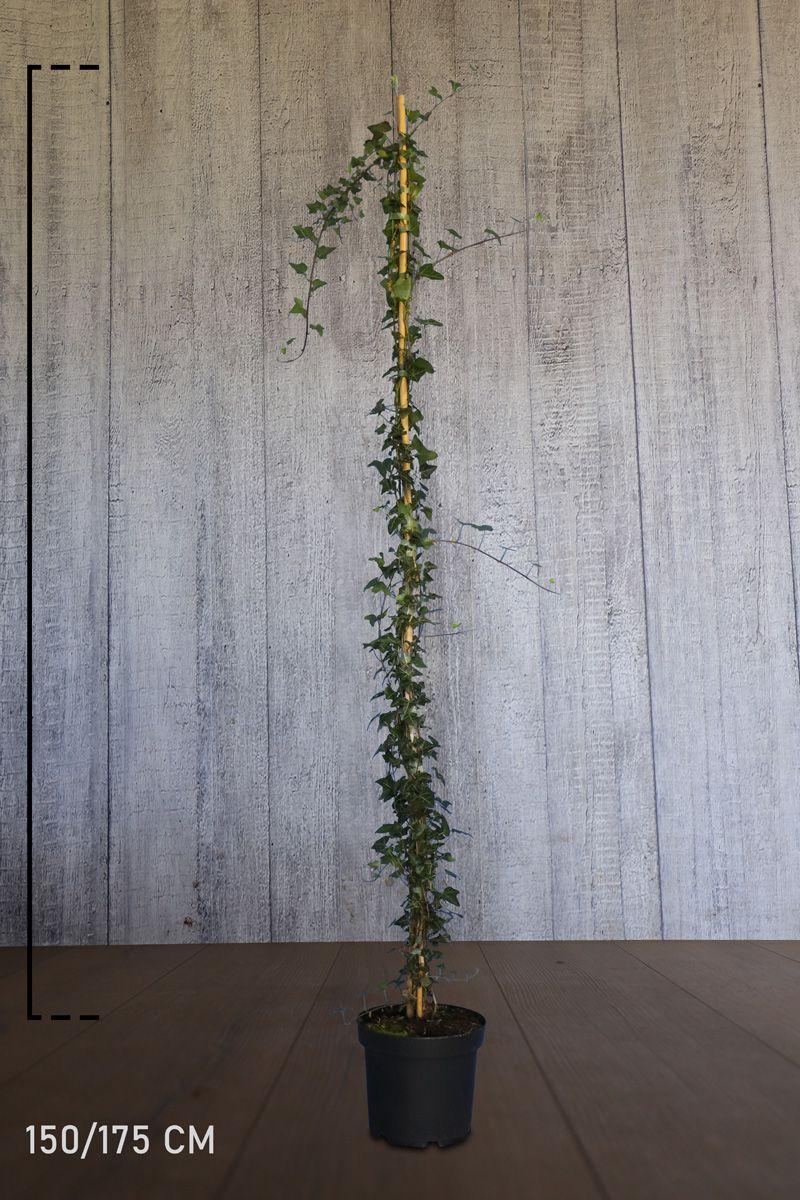 Gemeiner Efeu Topf 150-175 cm