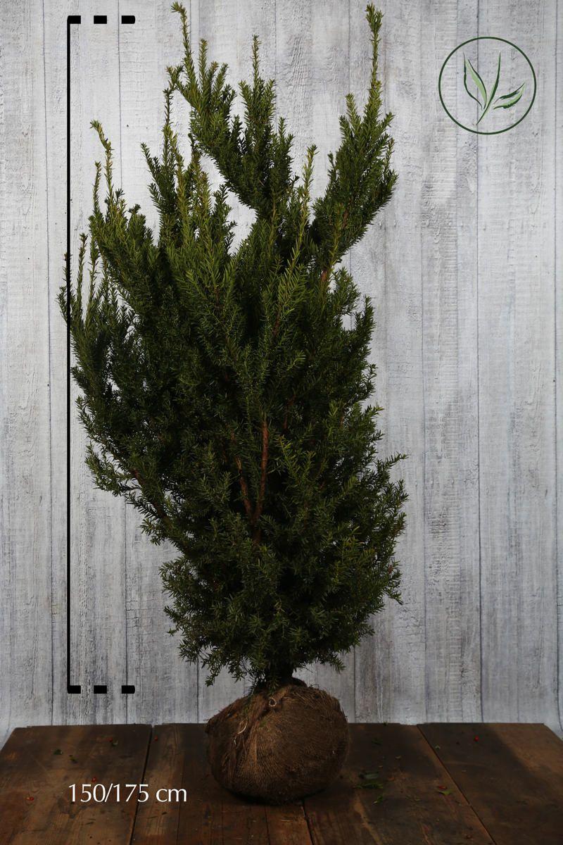 Fruchtende Becher-Eibe Wurzelballen 150-175 cm Extra Qualtität