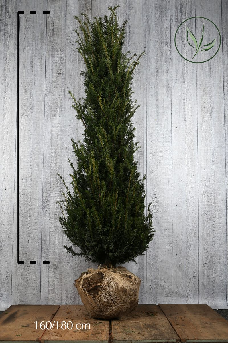 Gemeine Eibe Wurzelballen 160-180 cm Extra Qualtität