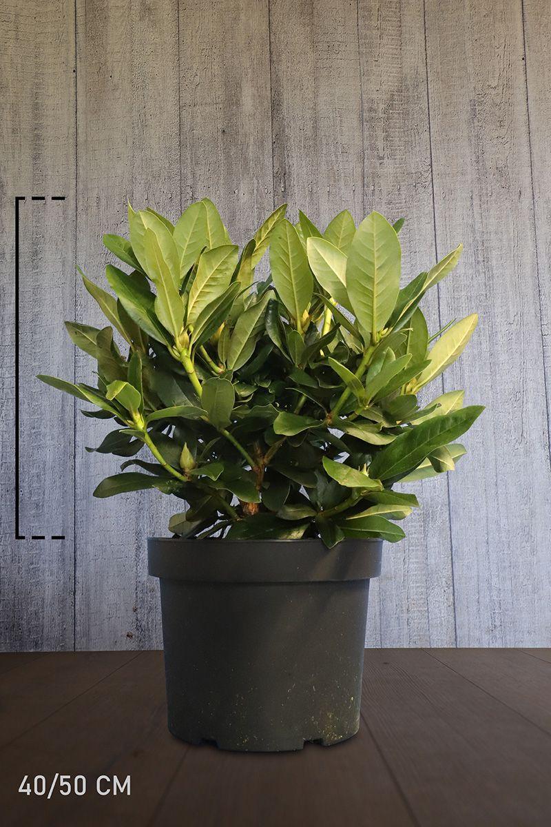 Rhododendron 'Cunninghams White'  Topf 40-50 cm Extra Qualtität