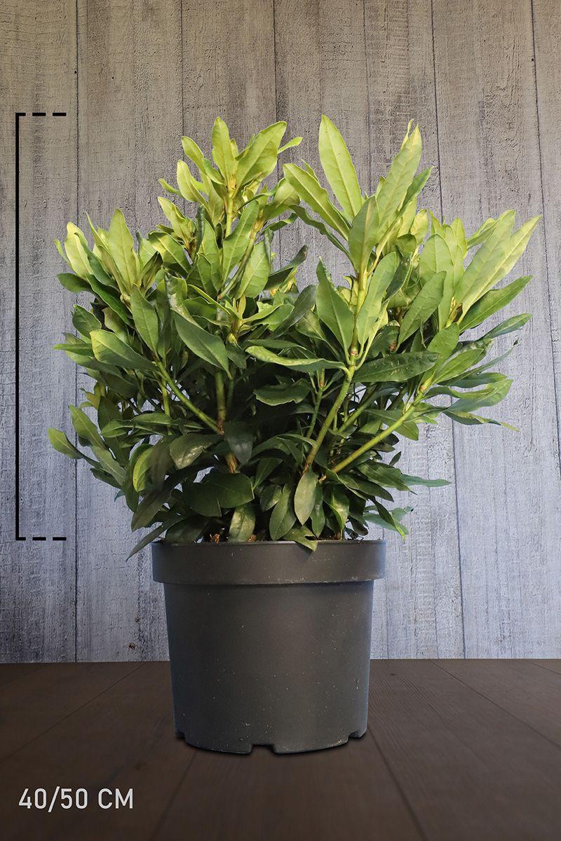 Rhododendron 'Madame Masson'  Topf 40-50 cm Extra Qualtität