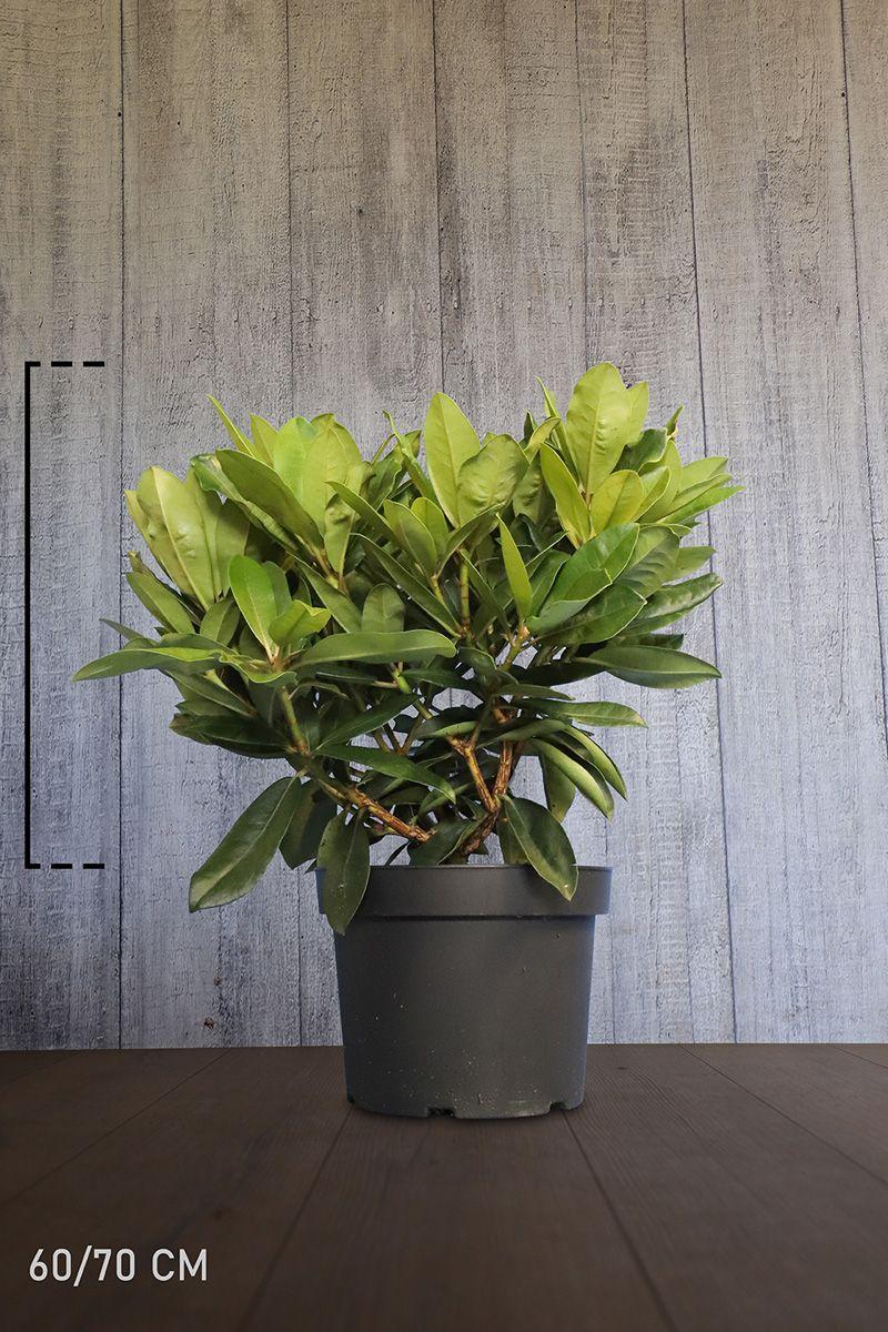 Rhododendron 'Gomer Waterer'  Topf 60-70 cm Extra Qualtität