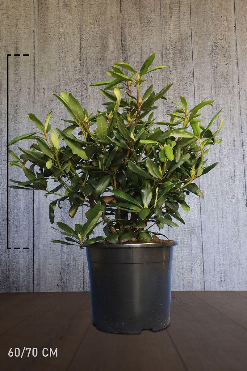 Rhododendron 'Marcel Menard'  Topf 60-70 cm Extra Qualtität