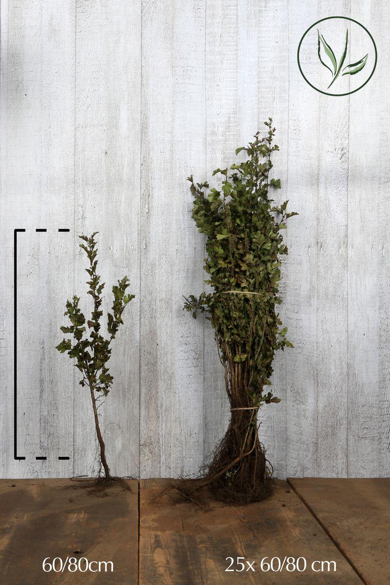 Eingriffeliger Weissdorn  Wurzelware 60-80 cm
