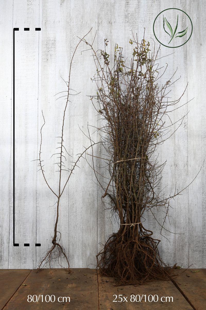 Schlehe  Wurzelware 80-100 cm