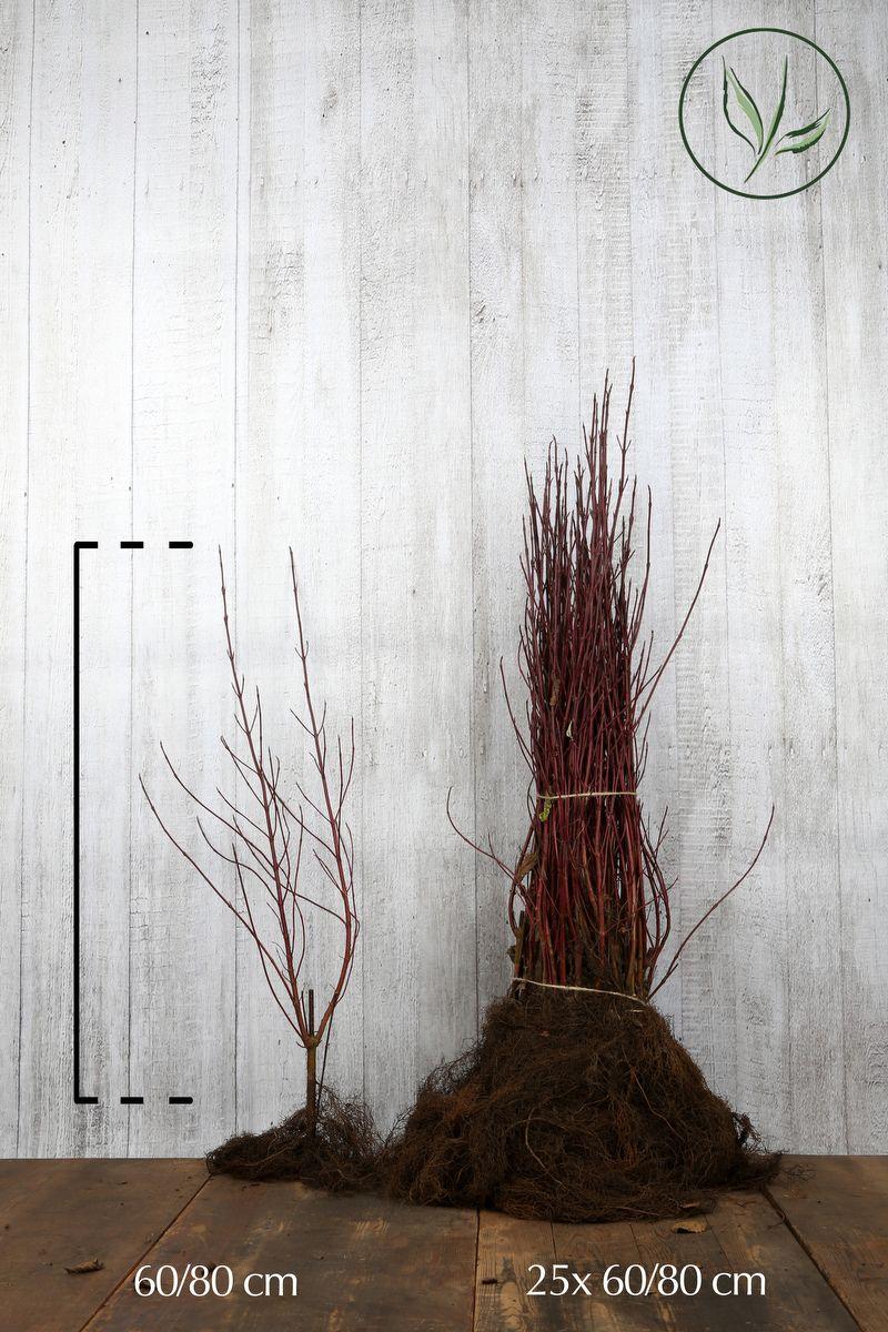 Rotholziger Hartriegel 'Elegantissima' Wurzelware 60-80 cm