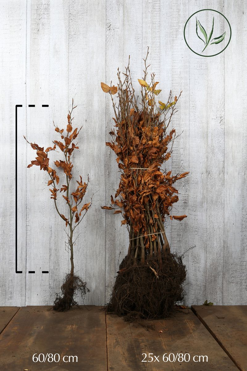 Rotbuche  Wurzelware 60-80 cm Extra Qualität