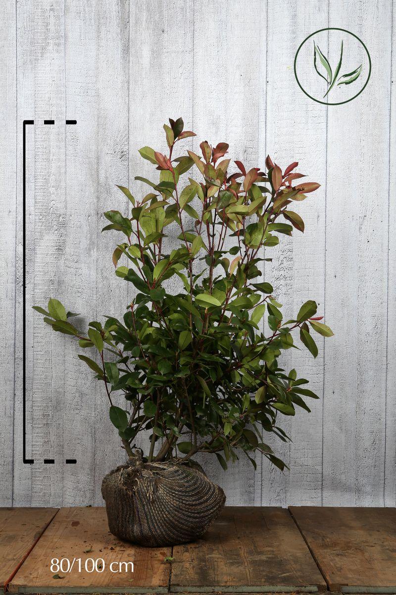 Glanzmispel - 'Red Robin' Wurzelballen 80-100 cm