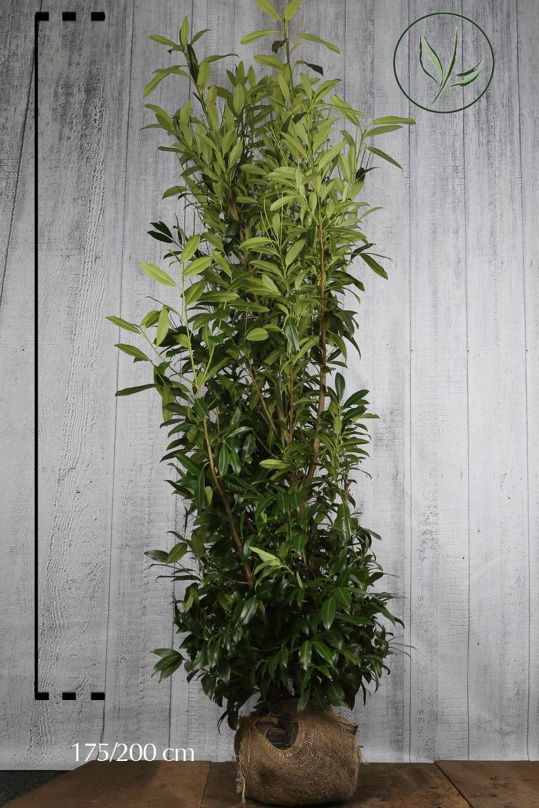 Kirschlorbeer 'Caucasica'  Wurzelballen 175-200 cm Extra Qualtität