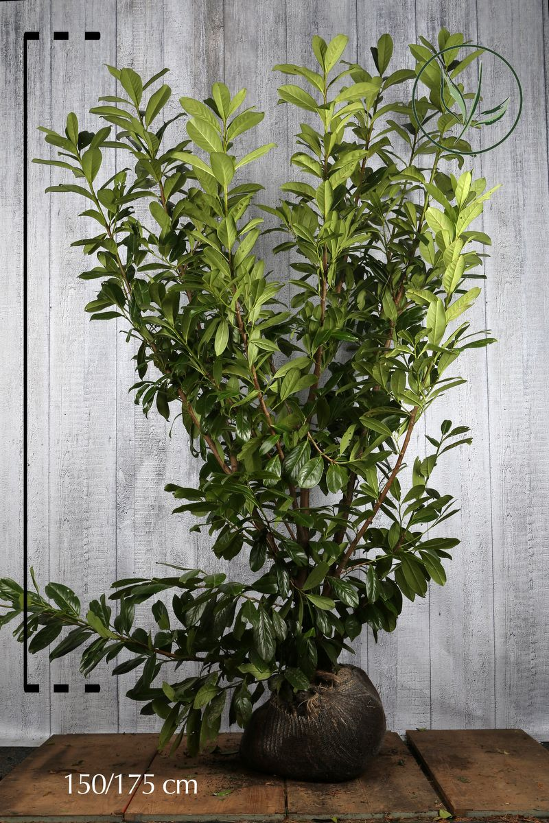 Kirschlorbeer 'Novita' Wurzelballen 150-175 cm Extra Qualtität