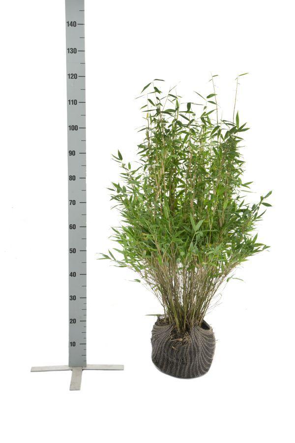 Mähnenbambus Wurzelballen 80-100 cm