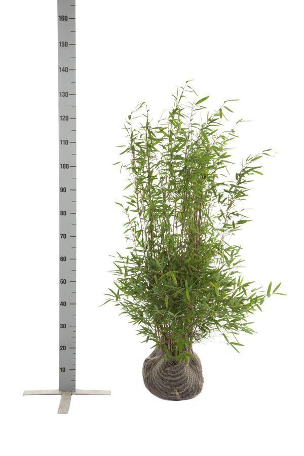 Fontänenbambus Wurzelballen 80-100 cm