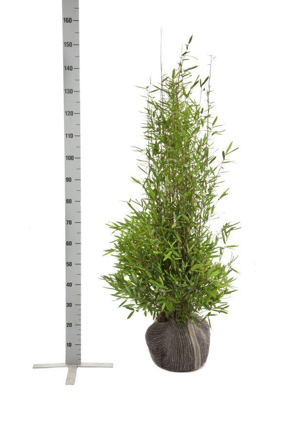 Fontänenbambus Wurzelballen 100-125 cm