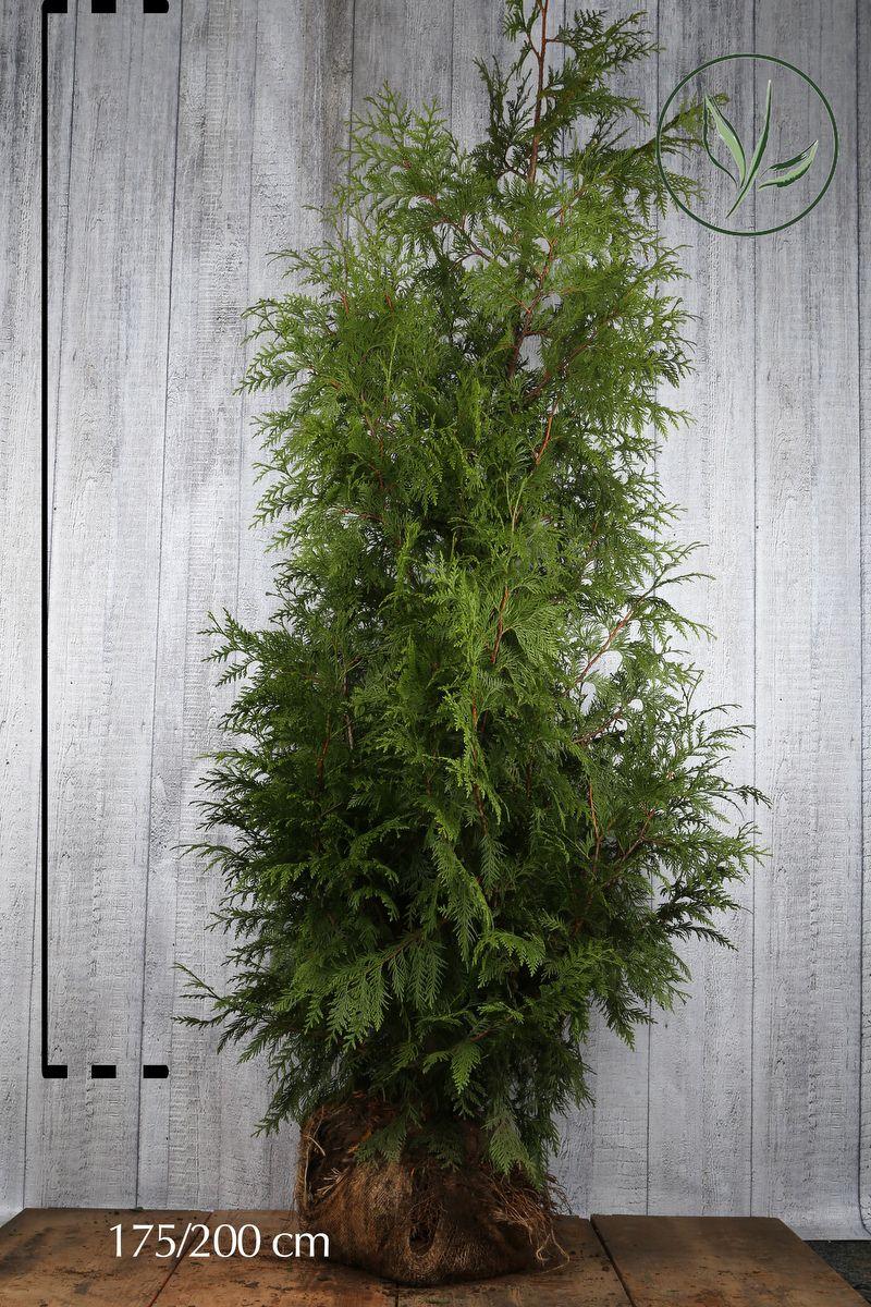 Lebensbaum 'Atrovirens' Wurzelballen 175-200 cm