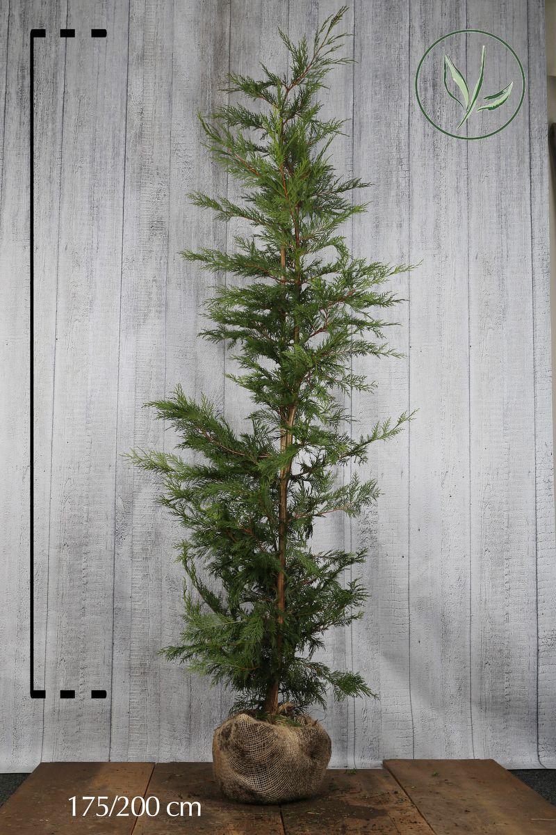 Grüne Bastardzypresse  Wurzelballen 175-200 cm