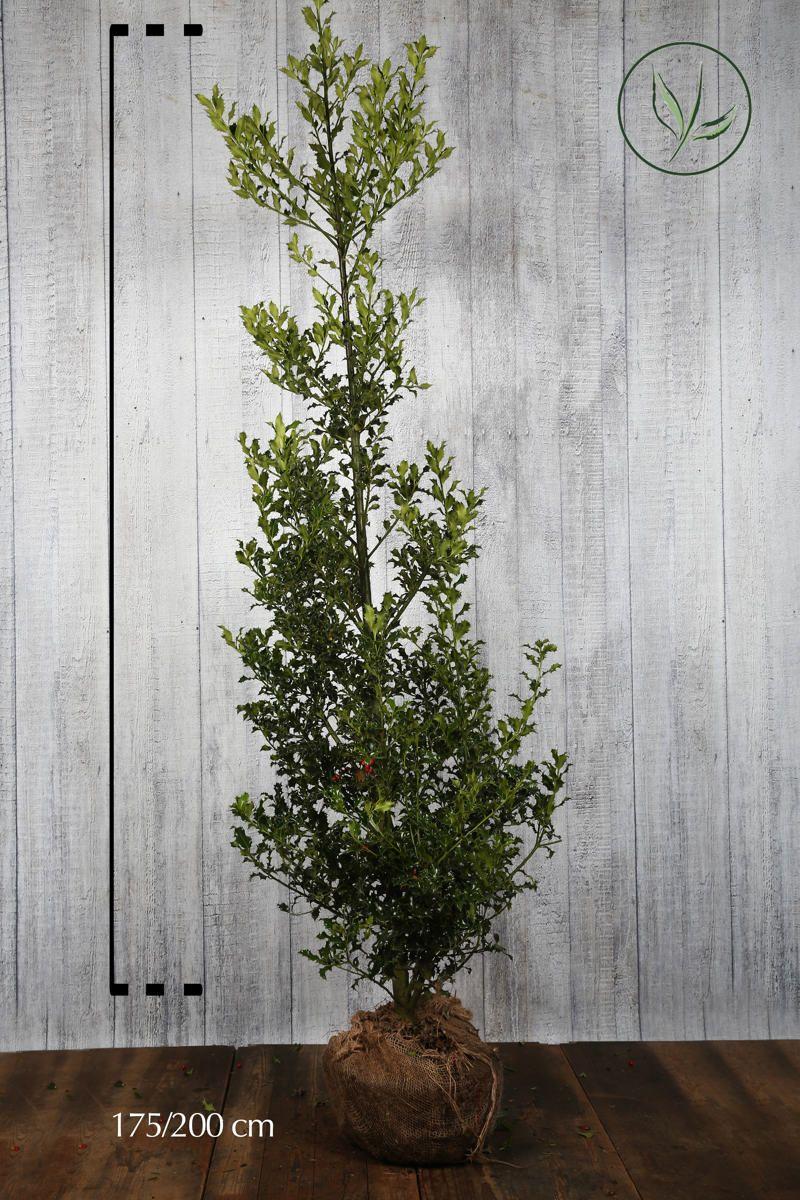 Stechpalme 'Alaska'  Wurzelballen 175-200 cm