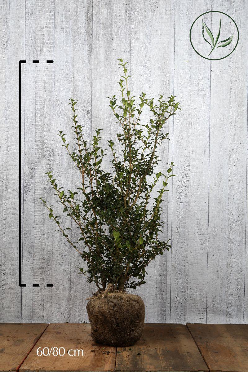 Burkwoods Duftblüte Wurzelballen 60-80 cm