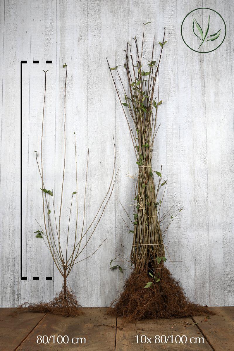 Wintergrüner Liguster 'Atrovirens' Wurzelware 80-100 cm