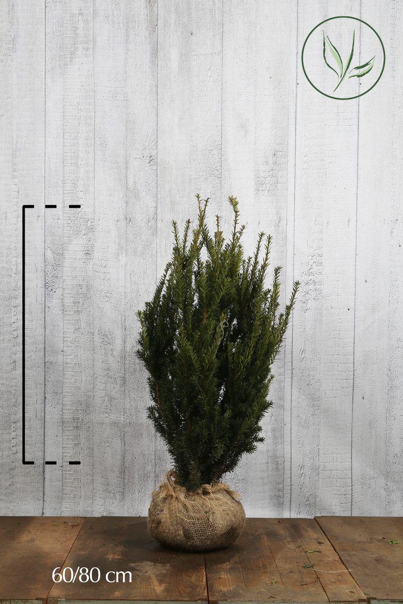 Nicht-fruchtende Becher-Eibe  Wurzelballen 60-80 cm