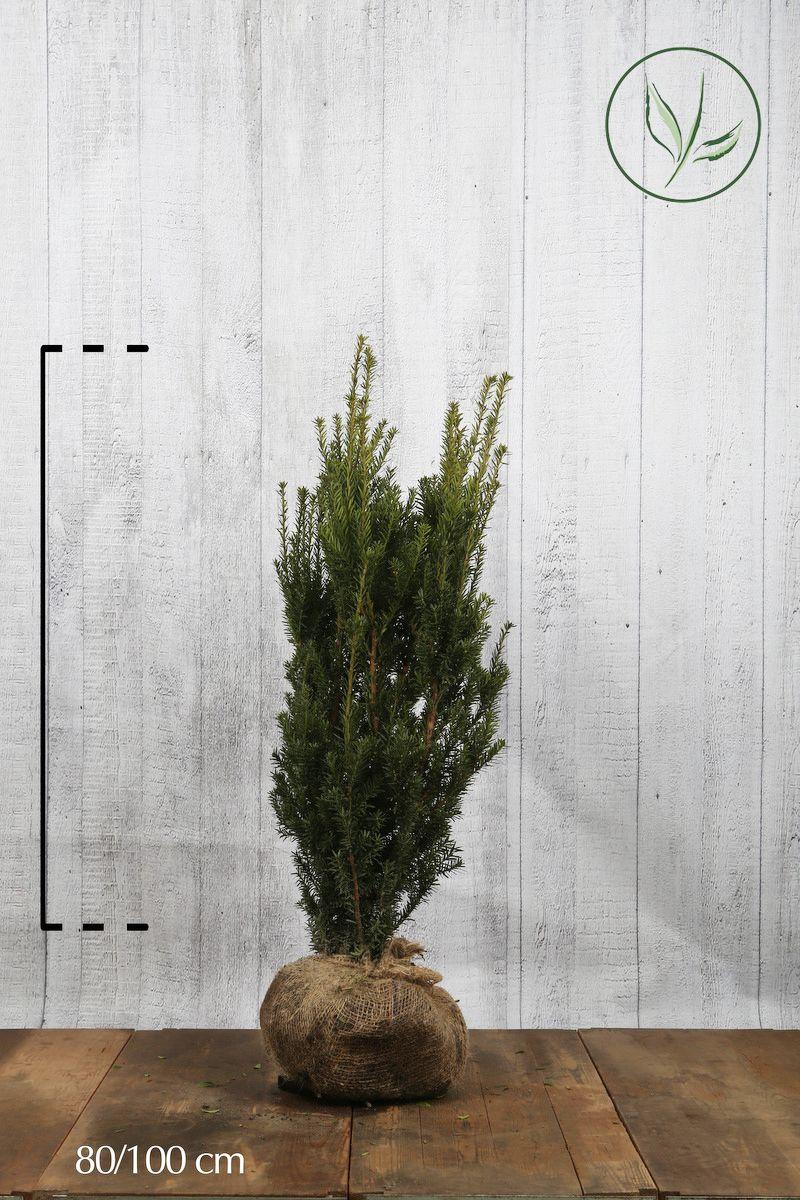 Nicht-fruchtende Becher-Eibe  Wurzelballen 80-100 cm