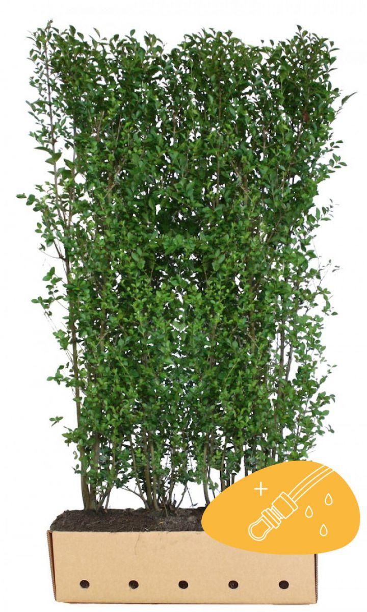 Ovalblättriger Liguster  Fertig-Hecken 200 cm Fertig-Hecken