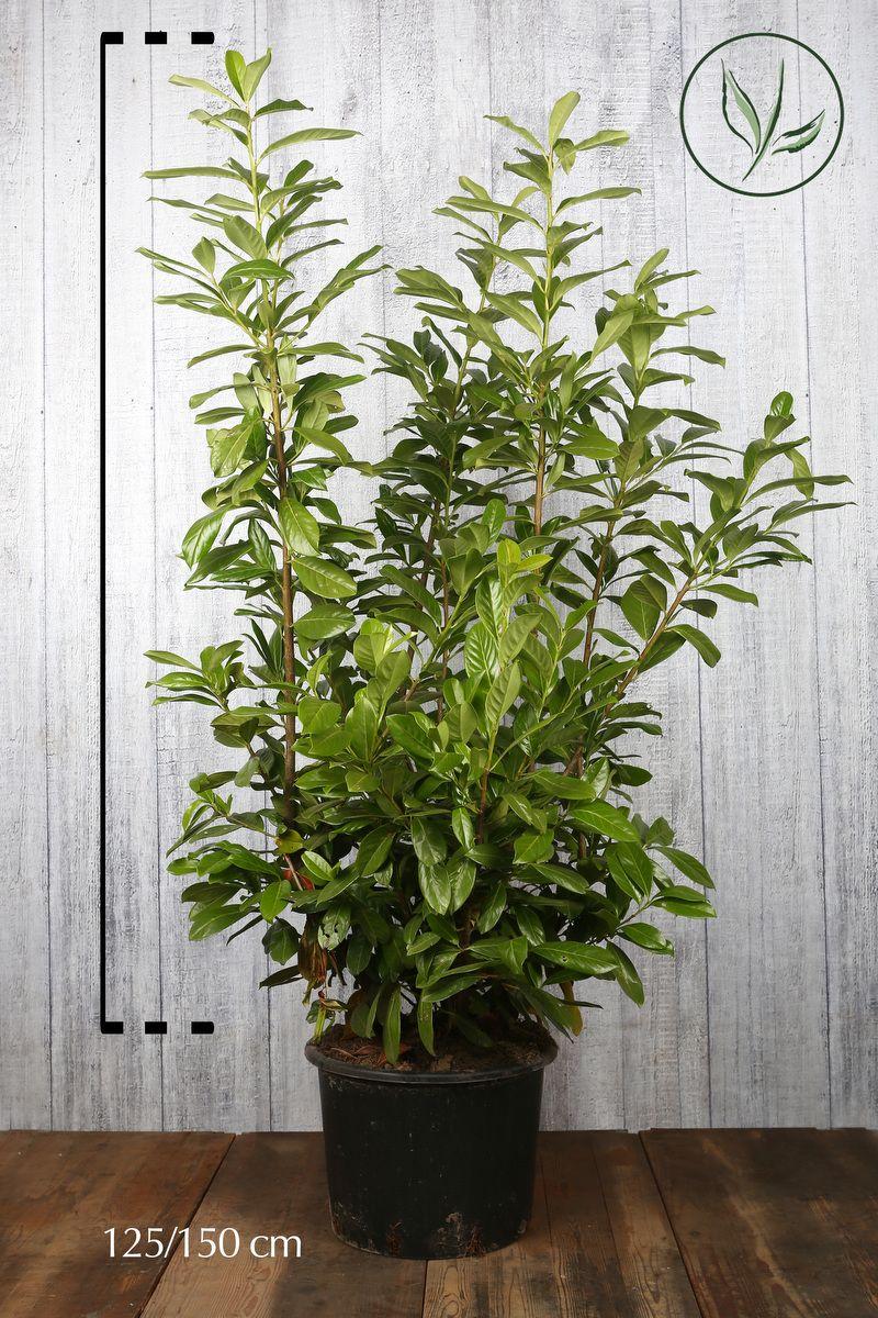 Kirschlorbeer 'Novita' Topf 125-150 cm