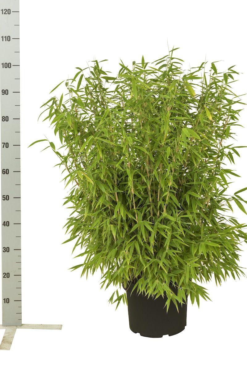 Schirmbambus 'Jumbo' Topf 60-80 cm