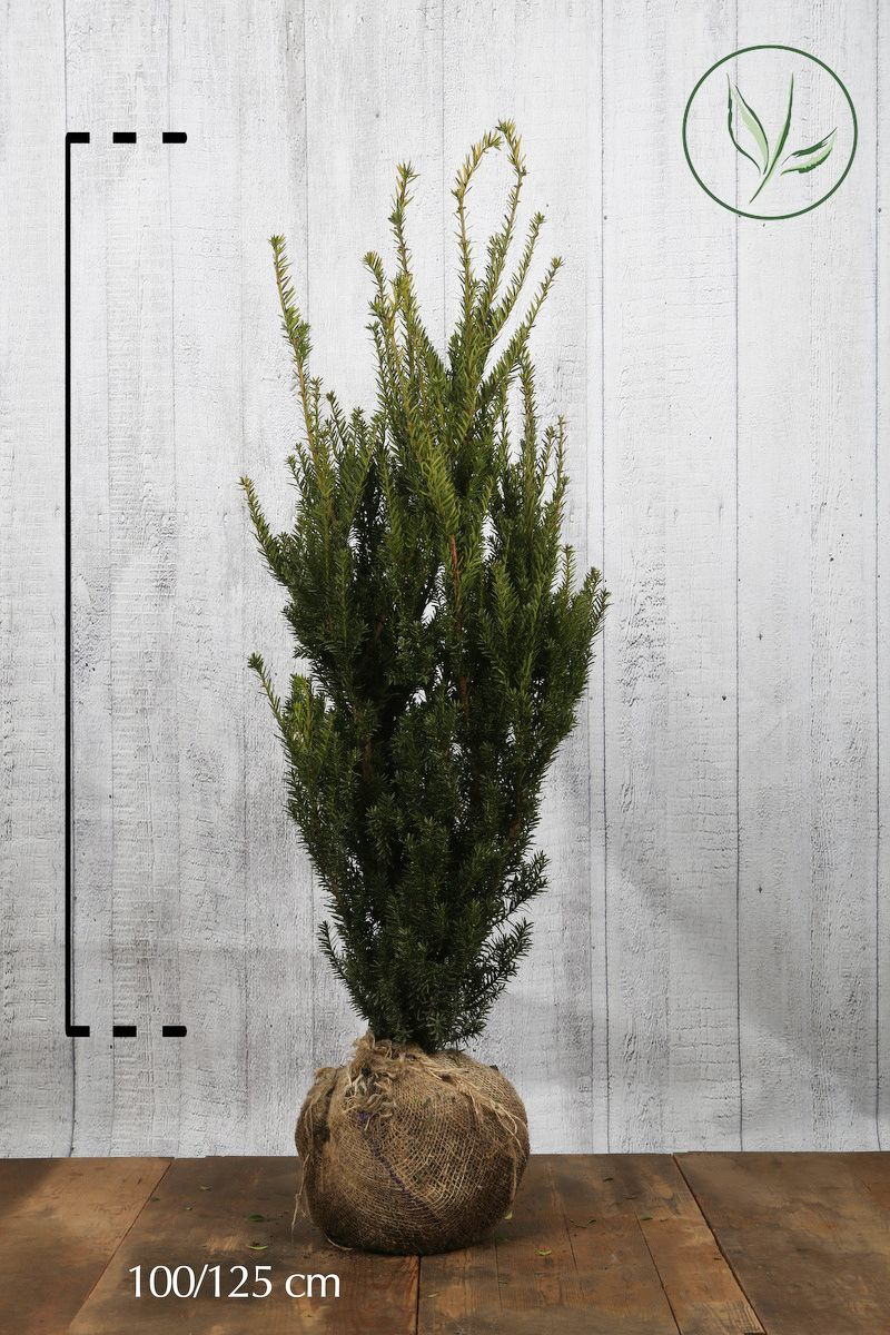 Nicht-fruchtende Becher-Eibe  Wurzelballen 100-125 cm