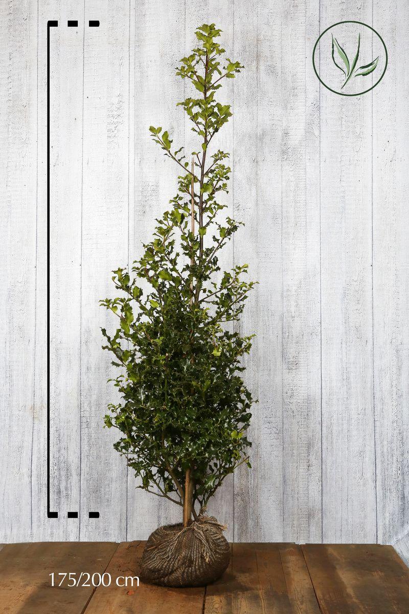 Stechpalme Wurzelballen 175-200 cm