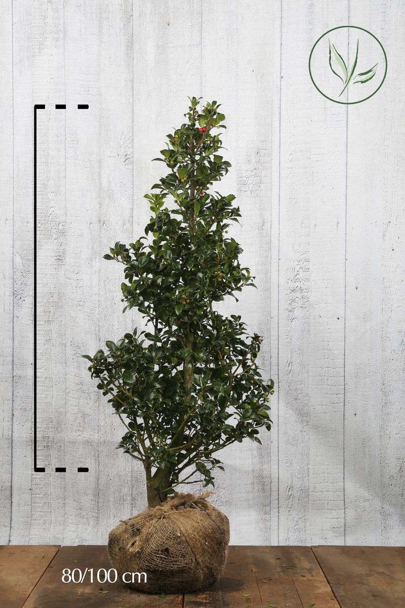 Stechpalme 'Heckenfee' Wurzelballen 80-100 cm