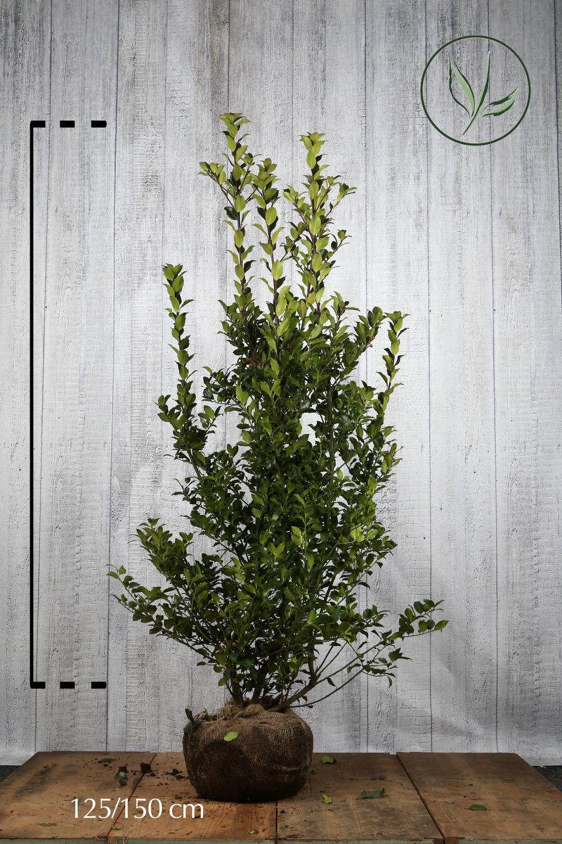 Stechpalme 'Blue Maid' Wurzelballen 125-150 cm