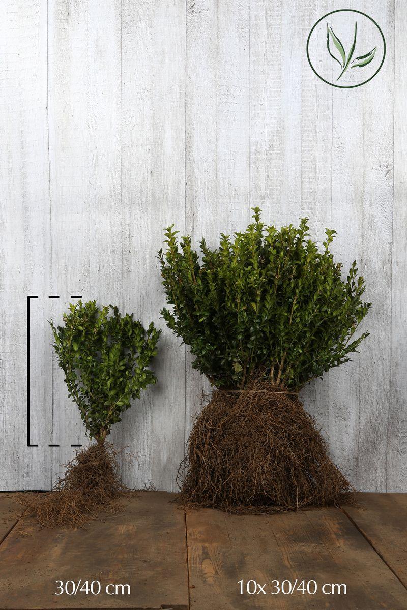 Buchsbaum - Sträucher Wurzelware 30-40 cm Extra Qualtität