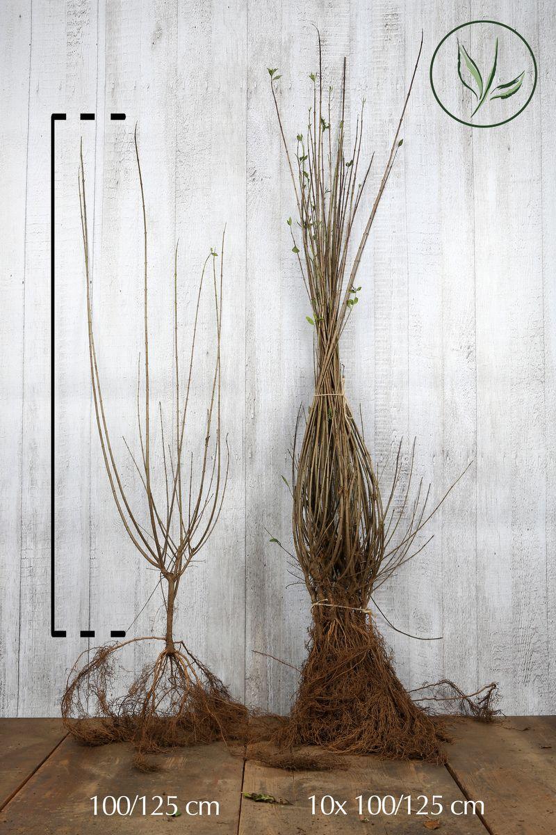 Wintergrüner Liguster 'Atrovirens' Wurzelware 100-125 cm