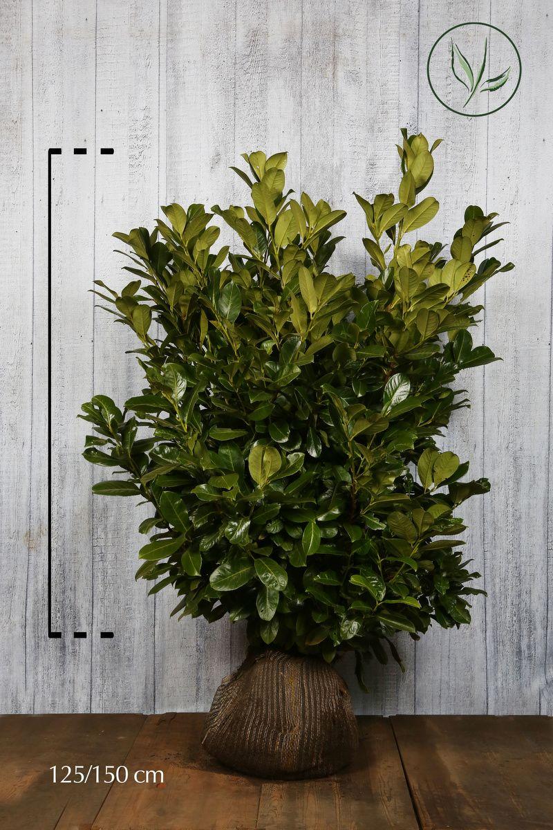 Grossblättriger Kirschlorbeer  Wurzelballen 125-150 cm Extra Qualtität