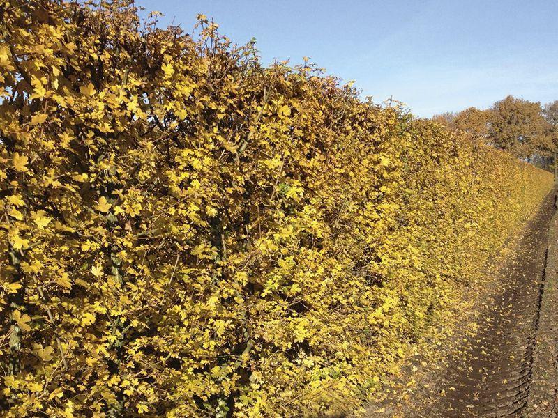 Feldahorn Fertig-Hecken 200 cm Fertig-Hecken