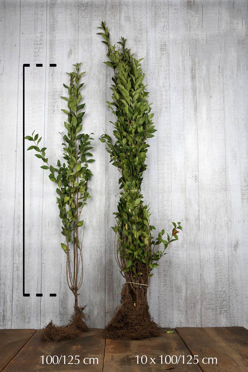 Ovalblättriger Liguster  Wurzelware 100-125 cm