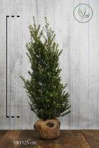 Japanische Stechpalme 'Dark Green'® Wurzelballen 100-125 cm