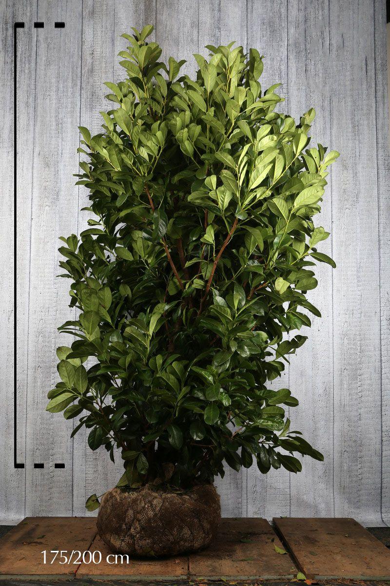 Grossblättriger Kirschlorbeer  Wurzelballen 175-200 cm