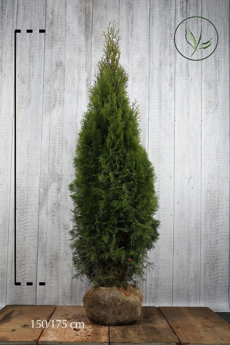 Lebensbaum 'Smaragd'  Wurzelballen 150-175 cm Extra Qualtität